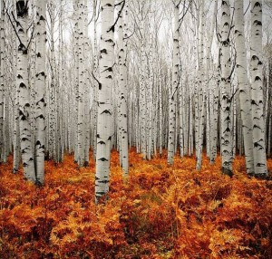 Colorado Birch Trees